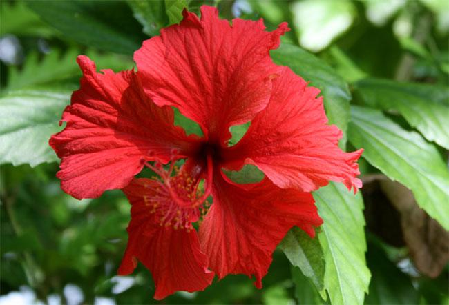 Hibiscus : conseils d entretien - Femme Actuelle