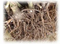 Racines de Kava au marché : pas cher !